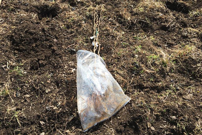 古民家の裏庭にキウイの苗を植え付けました